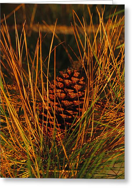 Pine Cones Greeting Cards - A Cluster Of Long Leaf Pine Needles Greeting Card by Raymond Gehman