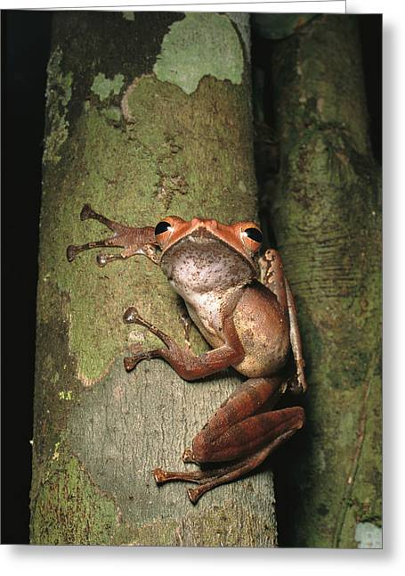 Recently Sold -  - Rhacophorus Greeting Cards - A Collets Tree Frog Rhacophorus Colleti Greeting Card by Tim Laman