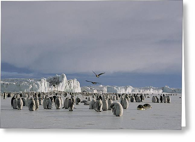 Aptenodytes Forsteri Greeting Cards - A Colony Of Emperor Penguins Convenes Greeting Card by Maria Stenzel