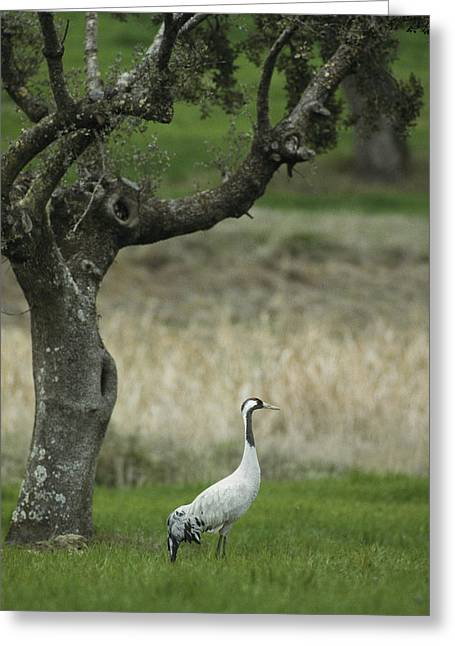 Extremadura Greeting Cards - A Common Crane Standing In Grass Greeting Card by Klaus Nigge
