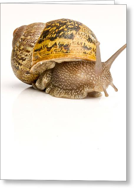 Helix Greeting Cards - A Common Garden Snail Moves Greeting Card by Brooke Whatnall