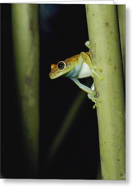 Polkadots Greeting Cards - A Common Polkadot Tree Frog Greeting Card by Jason Edwards