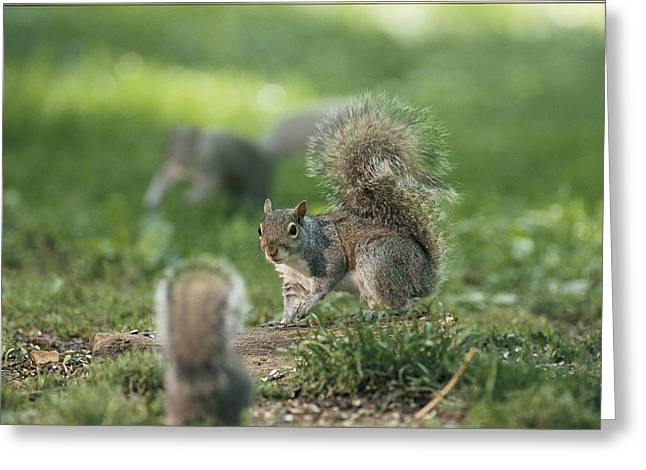 Best Sellers -  - Sciurus Carolinensis Greeting Cards - A Confrontation Between Two Eastern Greeting Card by Chris Johns