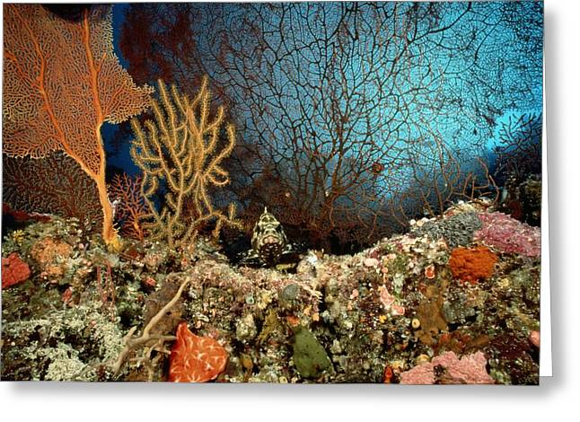 Grouper Greeting Cards - A Coral Scene With Grouper Fish Greeting Card by Wolcott Henry