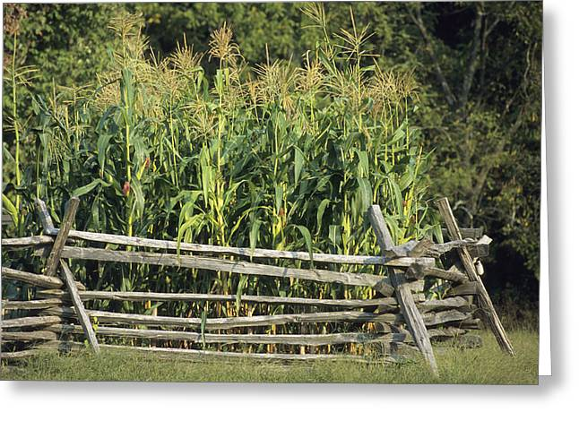 Cornfield Greeting Cards - A Cornfield In Fort Frederick State Greeting Card by Raymond Gehman