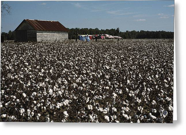 Farmers And Farming Greeting Cards - A Cotton Field Surrounds A Small Greeting Card by Medford Taylor