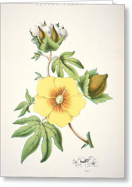 Roses In Bud Greeting Cards - A cotton plant Greeting Card by American School