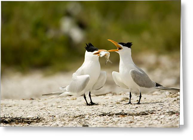 Tern Greeting Cards - A Courting Caspian Tern Caspian Tern Greeting Card by Tim Laman