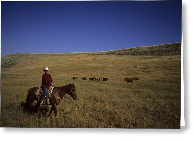 Steamboat Springs Greeting Cards - A Cowboy Herds Cattle On A Ranch Greeting Card by Taylor S. Kennedy