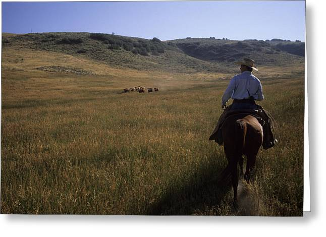Steamboat Springs Greeting Cards - A Cowboy Herds Cattle On His Ranch Greeting Card by Taylor S. Kennedy