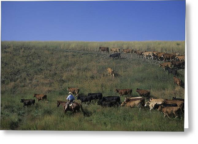 Steamboat Springs Greeting Cards - A Cowboy Rounds Up His Herd To Take Greeting Card by Taylor S. Kennedy