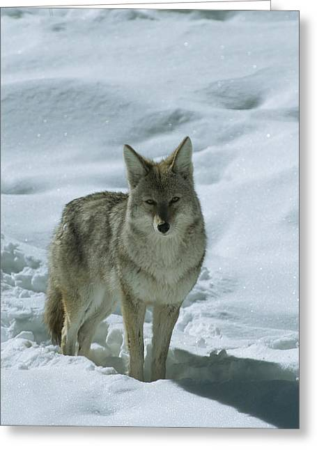 Animal Tracks Greeting Cards - A Coyote Canus Latrans Stands Greeting Card by Tom Murphy