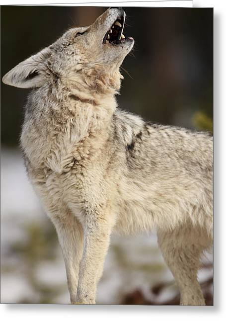 Socialize Greeting Cards - A Coyote Howls To Its Mate Greeting Card by Drew Rush