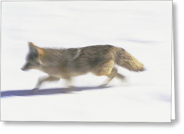 Light And Dark Greeting Cards - A Coyote On The Move In Yellowstone Greeting Card by Bobby Model