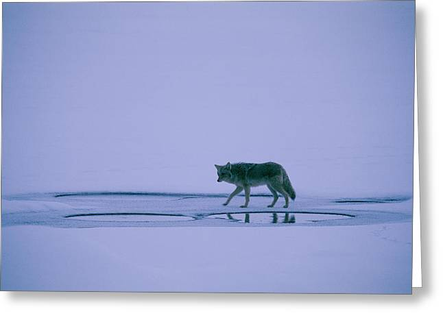 Light And Dark Greeting Cards - A Coyote On Yellowstone Lake In Winter Greeting Card by Bobby Model