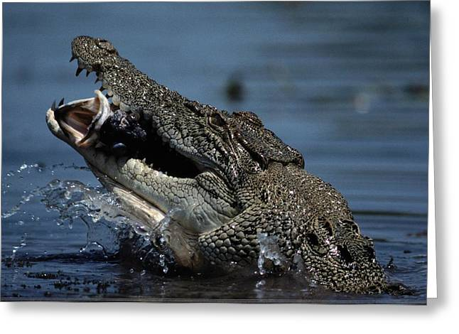 A Crocodile Eats A Giant Perch Fish Greeting Card by Belinda Wright