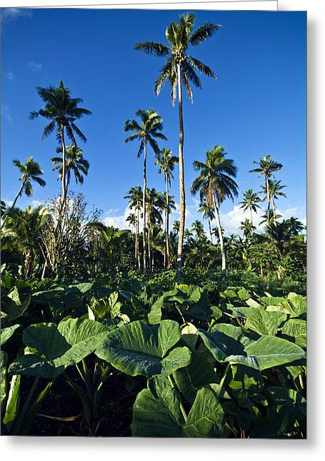 Lush Green Greeting Cards - A Crop Of Taro Plants Growing Greeting Card by Jason Edwards