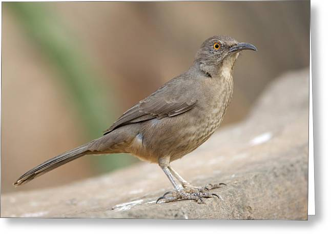 Desert Dome Greeting Cards - A Curve-billed Thrasher Toxostoma Greeting Card by Joel Sartore