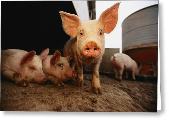 Take-out Greeting Cards - A Cute Pig Looks Up His Snout Greeting Card by Joel Sartore