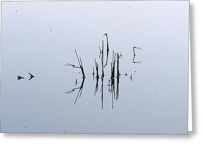 Damsel Fly Greeting Cards - A Damsel Fly Roosting On Reed Stems Greeting Card by Jason Edwards