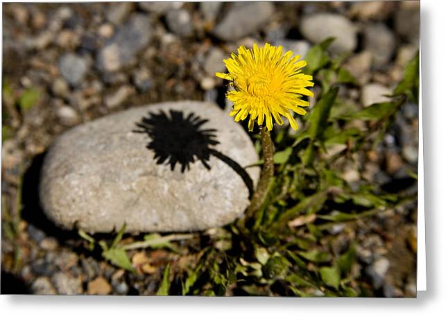 Whitehorse Greeting Cards - A Dandelion,taraxacum Officinale,casts Greeting Card by Stephen St. John