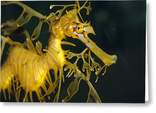 Leafy Sea Dragon Photographs Greeting Cards - A Diminutive Leafy Sea Dragon Greeting Card by Jason Edwards