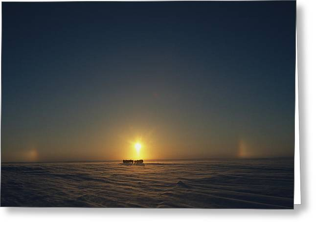 Sunset Scenes. Greeting Cards - A Distant View Of Silhouetted Musk-oxen Greeting Card by Norbert Rosing