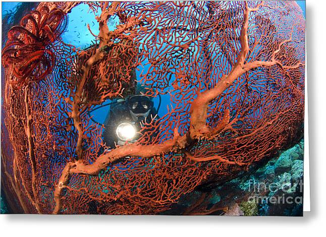 New Britain Greeting Cards - A Diver Peers Through A Red Sea Fan Greeting Card by Steve Jones