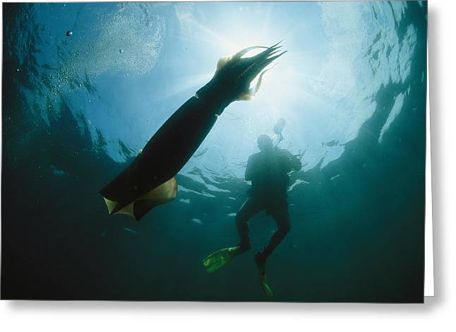 Giant Squid Greeting Cards - A Diver Swimming Near A Giant Or Greeting Card by Brian J. Skerry