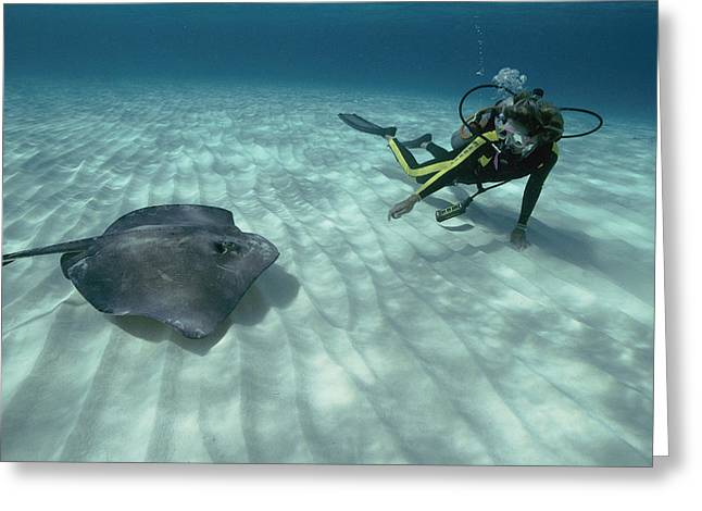 Southern Stingrays Greeting Cards - A Diver Swims Close To A Southern Sting Greeting Card by Bill Curtsinger