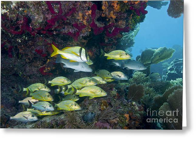 Undersea Photography Greeting Cards - A Diversity Of Grunt Fish Greeting Card by Terry Moore