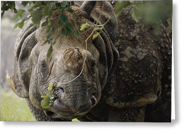 Indian Rhinoceros Greeting Cards - A Docile Looking Indian Rhino Chews Greeting Card by Vlad Kharitonov