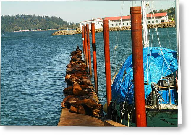 Sea Lions Greeting Cards - A Dock Of Sea Lions Greeting Card by Jeff  Swan