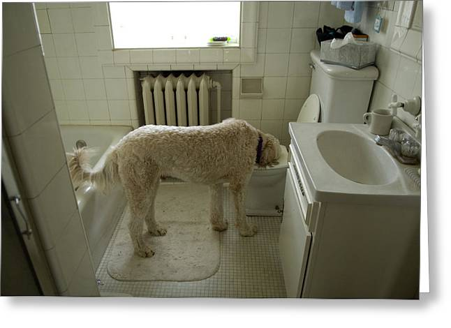 Unhygienic Greeting Cards - A Dog Drinks Out Of A Toilet Greeting Card by Joel Sartore