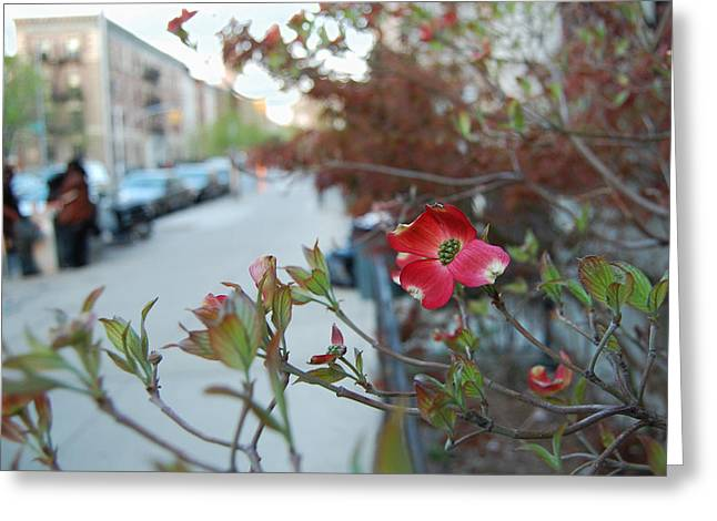 Dogwood Greeting Cards - A Dogwood grows in Brooklyn Greeting Card by Julie VanDore