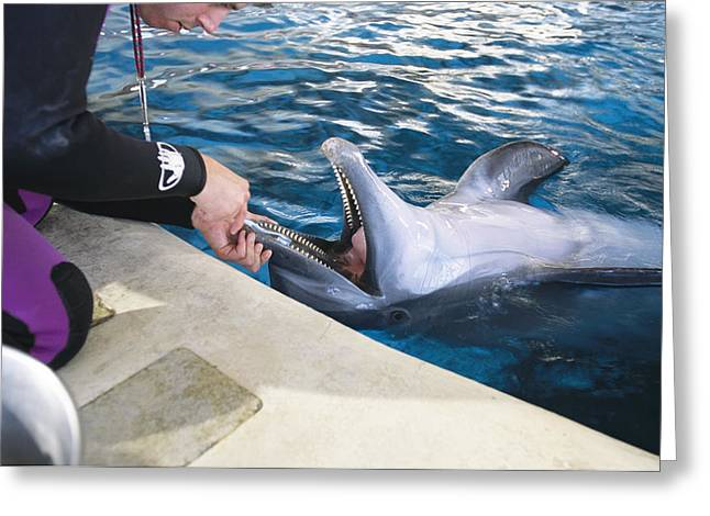 Human Rights Issues And Activities Greeting Cards - A Dolphin Has Its Teeth Cleaned Greeting Card by Clarita Berger