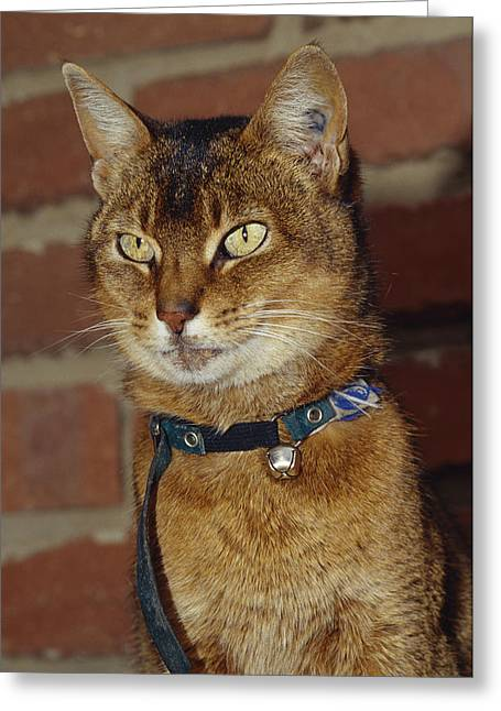Pet Collar Greeting Cards - A Domestic Abyssinian Cat With Yellow Greeting Card by Jason Edwards