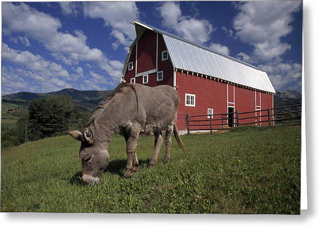 Horse Images Greeting Cards - A Donkey Grazing Near A Large Red Barn Greeting Card by Ed George