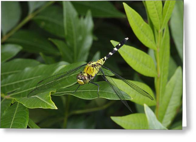 Full-length Portrait Greeting Cards - A Dragonfly Resting On A Leaf Greeting Card by George Grall