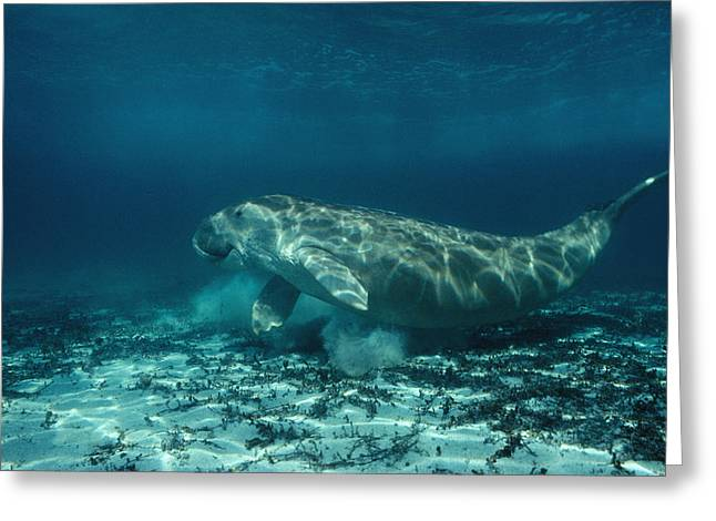 Shark Bay Greeting Cards - A Dugong Forages In The Underwater Greeting Card by David Doubilet