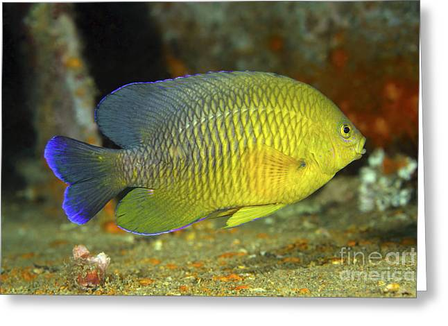 Damselfish Greeting Cards - A Dusky Damselfish Offshore From Panama Greeting Card by Michael Wood