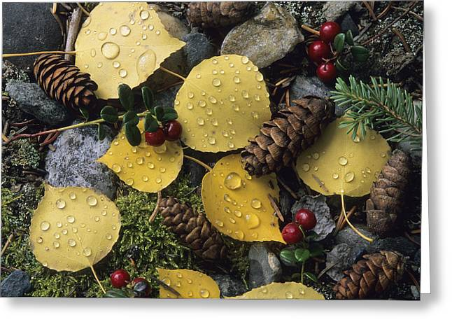 Plant Color Changes Greeting Cards - A Fall Color Mosaic Of Aspen Leaves Greeting Card by Rich Reid