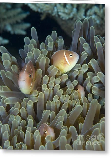 A Family Of Pink Anemonefish Greeting Card by Steve Jones