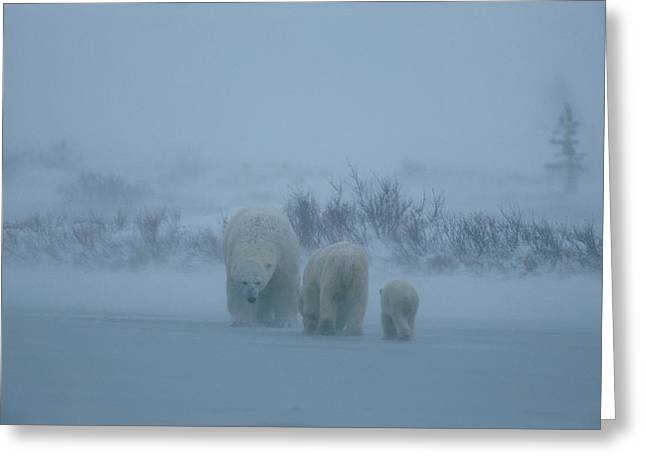 Anger And Hostility Greeting Cards - A family of polar bears Greeting Card by Norbert Rosing