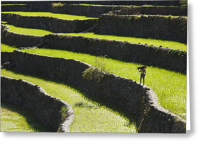 A Farmer Walks Along The Famous Rice Greeting Card by Sean White