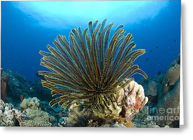 New Britain Greeting Cards - A Feather Star With Arms Extended Greeting Card by Steve Jones