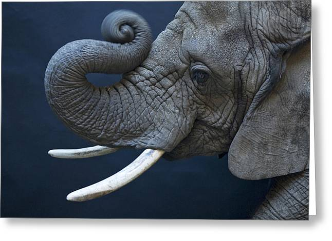 Release Greeting Cards - A Female African Elephant, Loxodonta Greeting Card by Joel Sartore