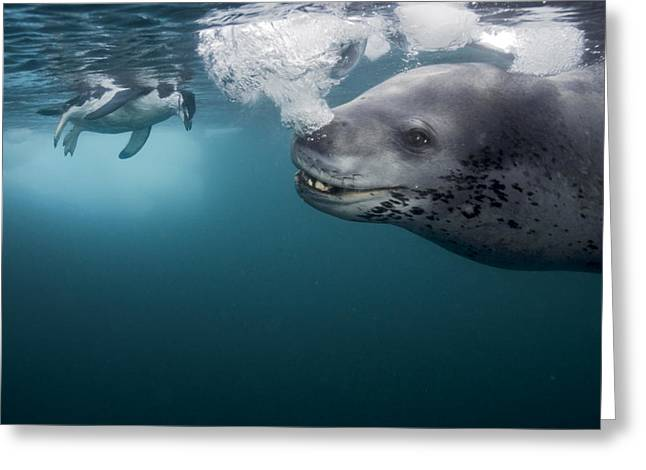 Air Bubbles Greeting Cards - A Female Leopard Seal Brings Her Catch Greeting Card by Paul Nicklen
