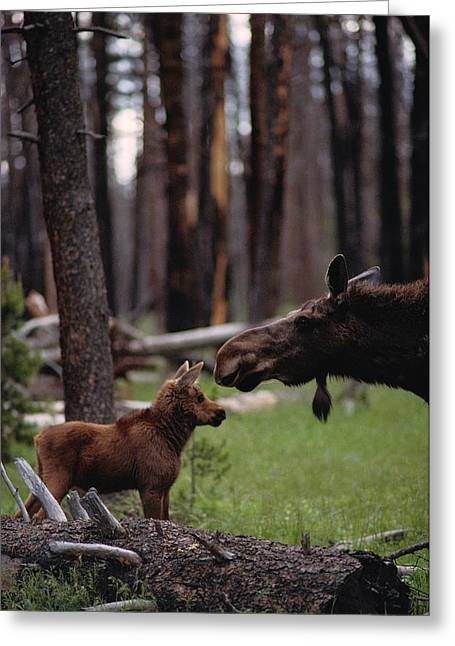 Juvenile Mammals Greeting Cards - A Female Moose Nuzzles Her  Young Greeting Card by Randy Olson