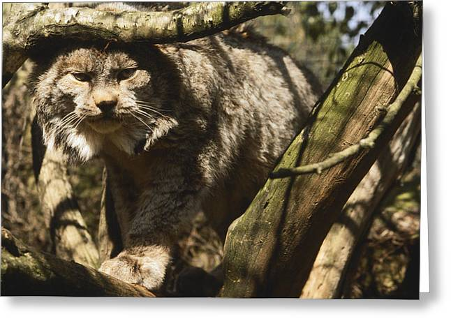 Dappled Light Greeting Cards - A Female Northern Lynx With Her Thick Greeting Card by Jason Edwards